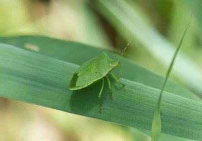 zöld vándorpoloska